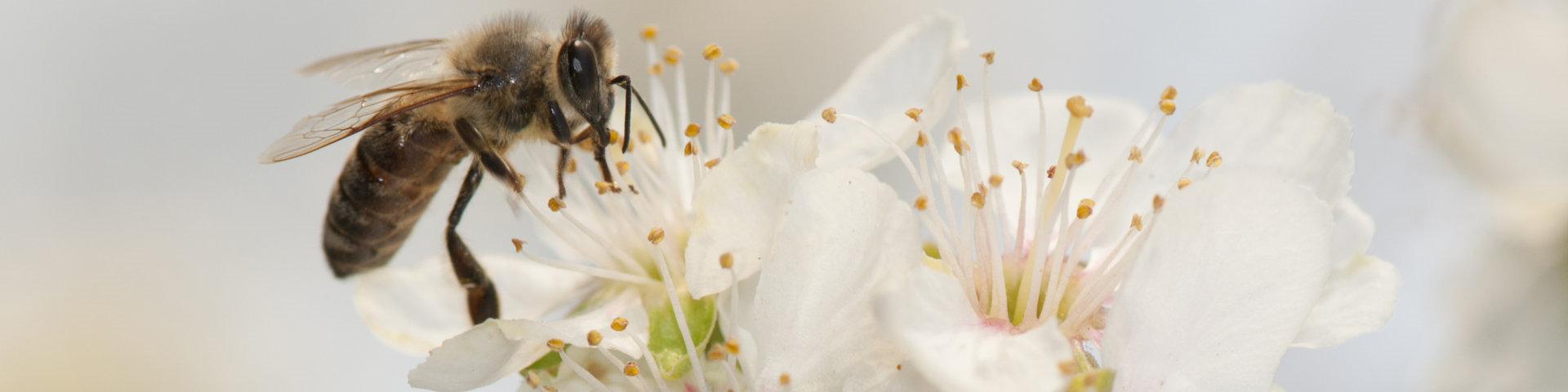 bee feasting with pollen from an apple flower
